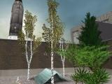 Birke / birch tree